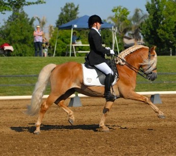 Eleanor Johnson and Max (Halflinger) Riding FEI